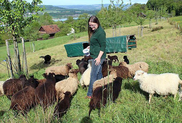Die Kleinsten Schafe Der Welt Schweizer Bauer